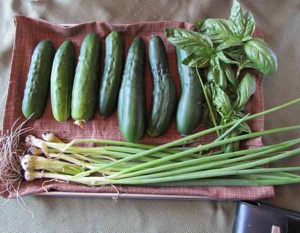 190804 cucumbers