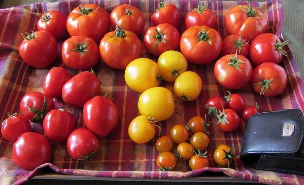 190804 tomatoes